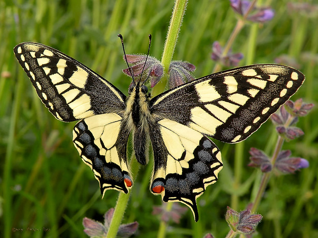 Papilio machaon ( Linnaeus 1758)