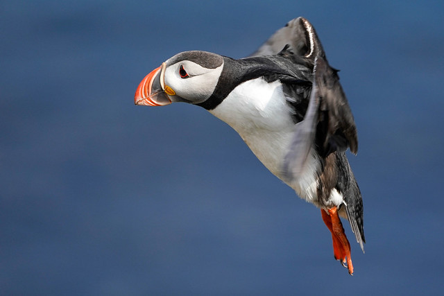 Puffin Incoming