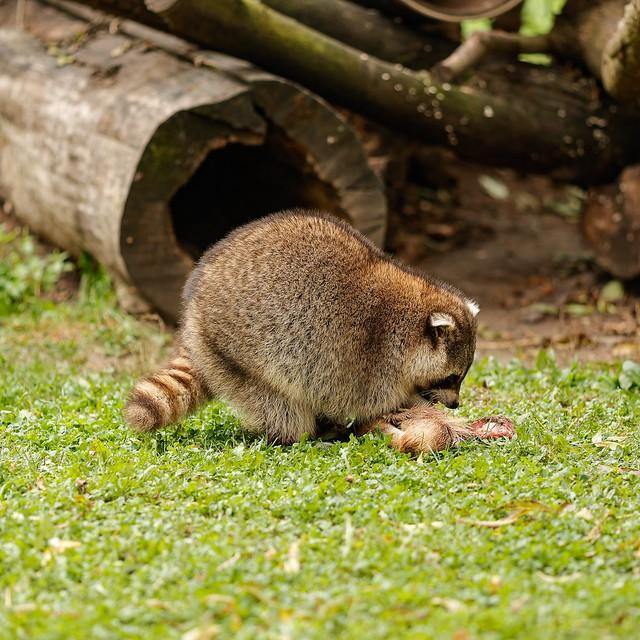 Waschbär im Tierpark