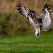 37.Spread Owl