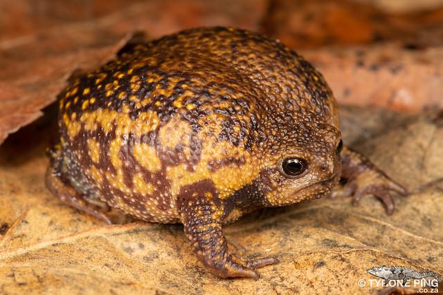 Breviceps verrucosus - Plaintive Rain Frog