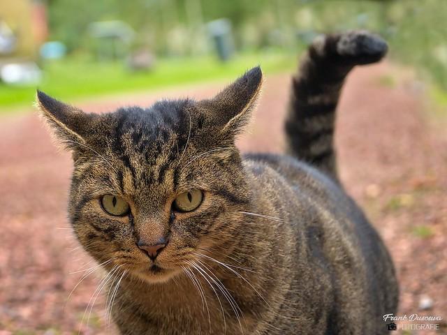 House cat - Huiskat - (Felis catus).