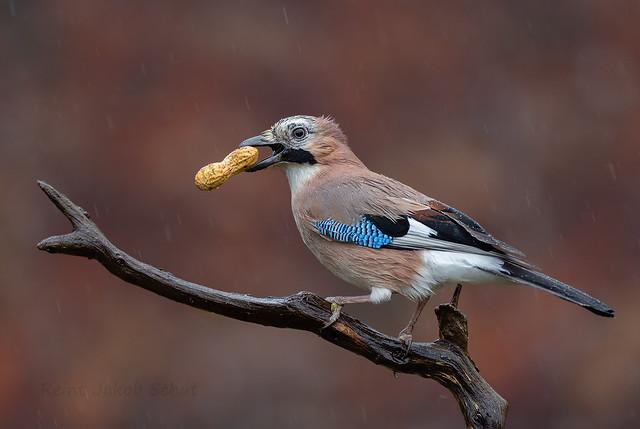 Gaai - Eurasian Jay - Garrulus glandarius