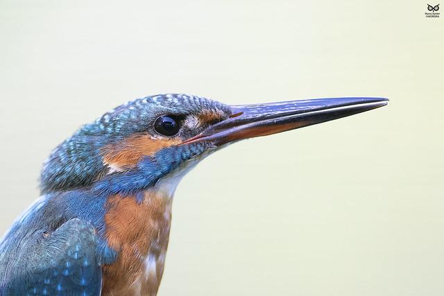 Guarda-rios, kingfisher (Alcedo atthis)