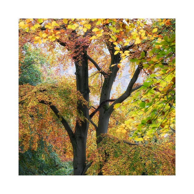 Colourful Beeches
