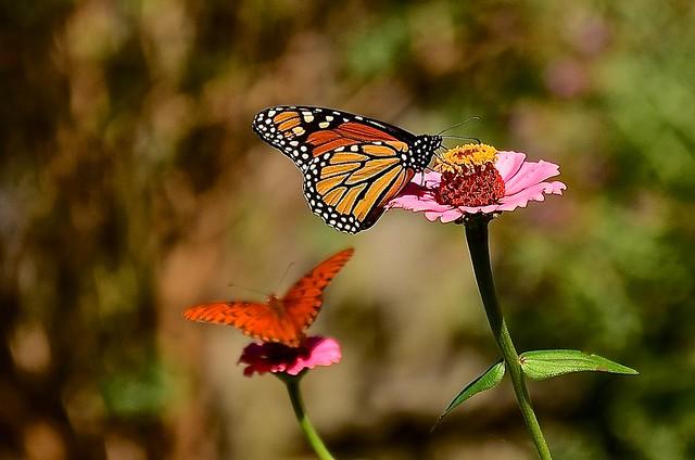 Monarch & Gulf Fritillary