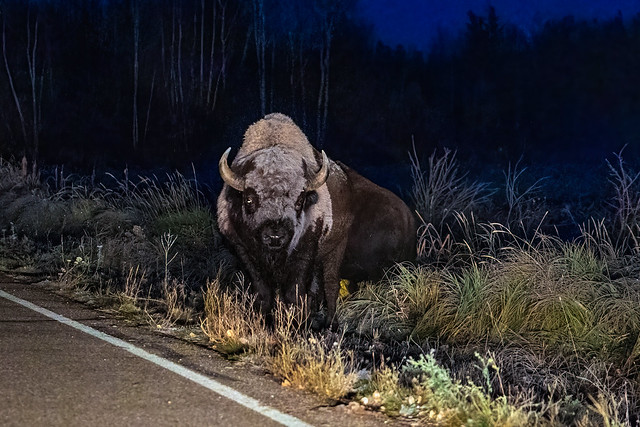 Ghostly Bison