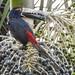 Wildlife: Collared Aracari Tucan