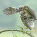 Kwak / black-crowned night heron / bihoreau gris