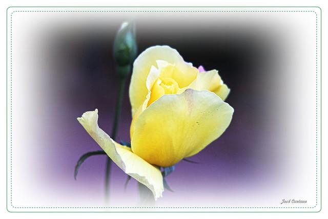 IMG_2653_Yellow Rose