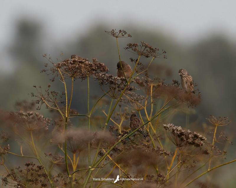 Kneu (Linaria cannabina)-850_6682