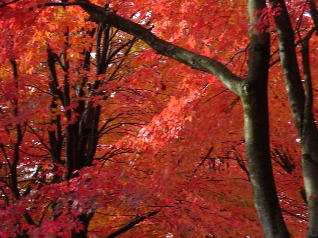 SOOC: Red Maple splendour in Vancouver (+1)