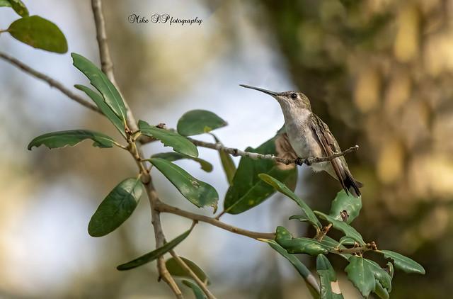 Ruby-throated Hummingbird,female,lifer[Explore 10/19/21]