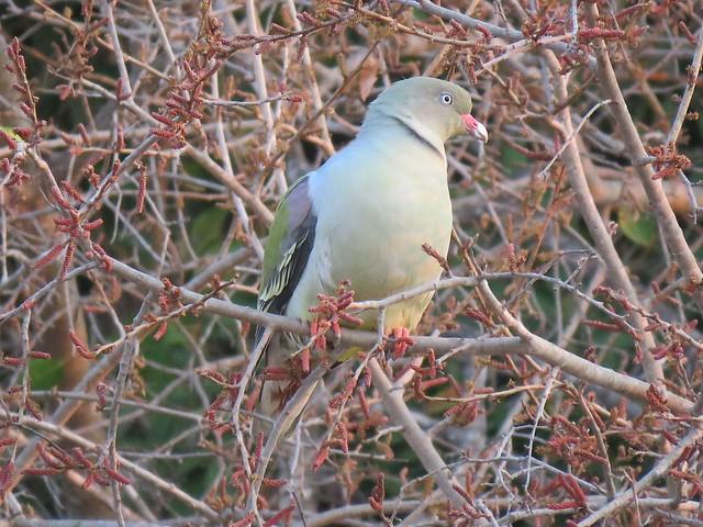 Afrcan Green-Pigeon  /  Green Pigeon  /  Ppegaaiduif
