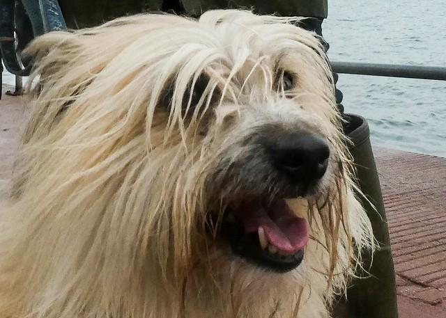 Amber - Pyrenean sheepdog