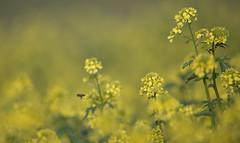 Western honey bee flies over a field of white mustard