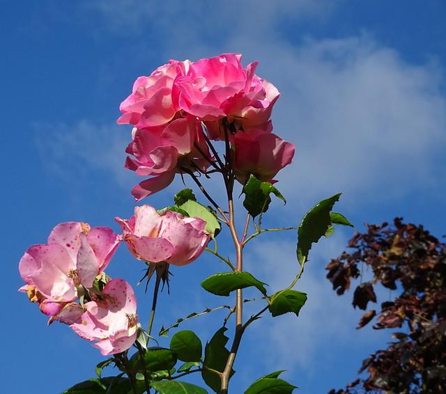 SKY-ROSE