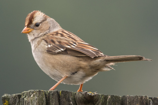 White-Crowned Sparrow - first winter plumage (Zonotrichia leucophyrus)