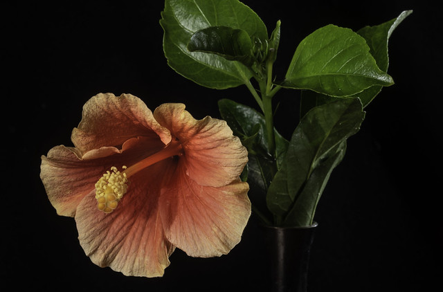 Pink And Orange Hibiscus Flower In The Light