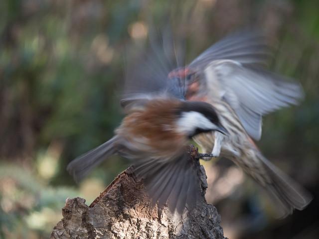 House Finch and Chickadee