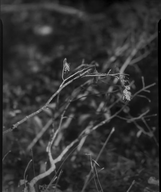 cluster, leaning and curving branches, dried floral forms, Biltmore Estate, Asheville, NC, Folmer Graflex  R.B. Series B, Kodak Anastigmat f-4.5, Adox CHS 100 II, 3x4 sheet film negative, HC-110 developer, 10.16.21