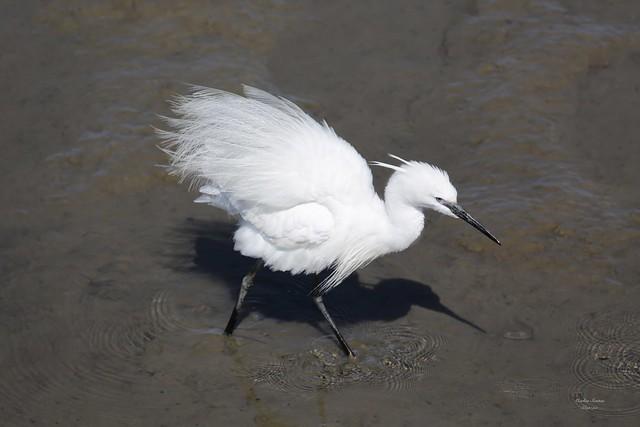 Garça Branca Pequena (Small White Heron)