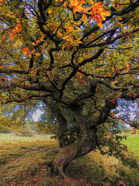 Twisted Tree of Autumn