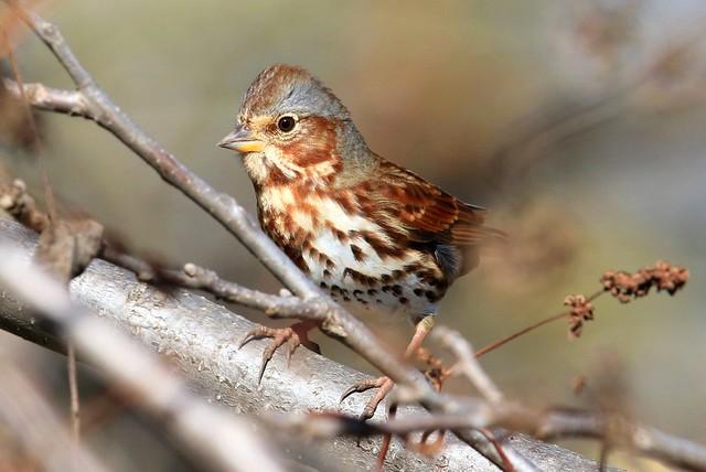 fox sparrow (red) at Chipera Prairie IA 2K3A7987