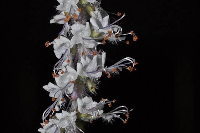 Basilicum sp.