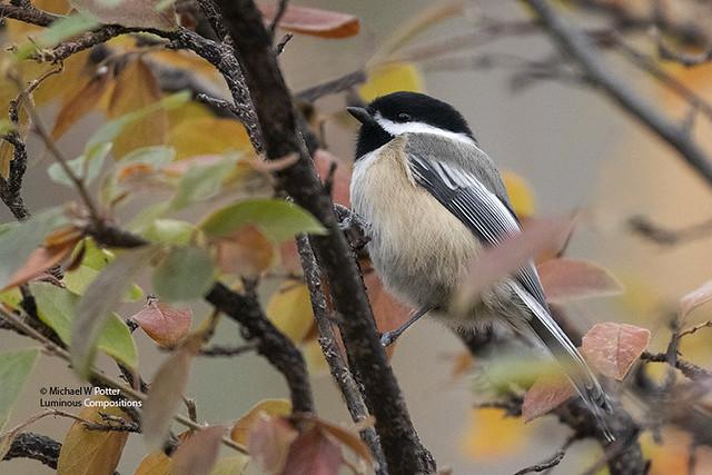 Black-capped Chickadee, fall