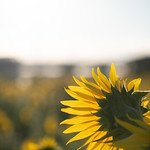 20210919 Enokimae Sunflower Field 5