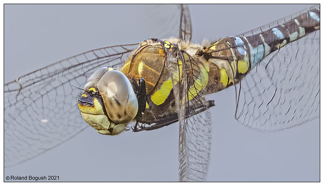 Exquisite details visible in this hovering Migrant Hawker - Sep 2021