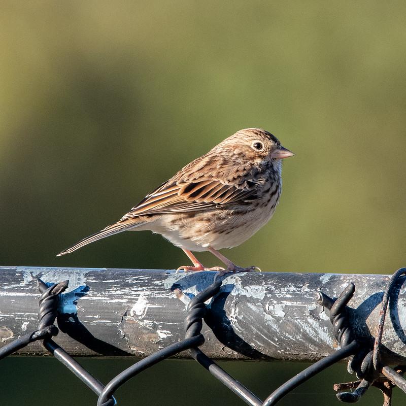 vesper-sparrow-5167