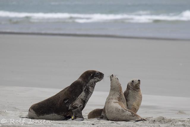 Hooker's Sea lions