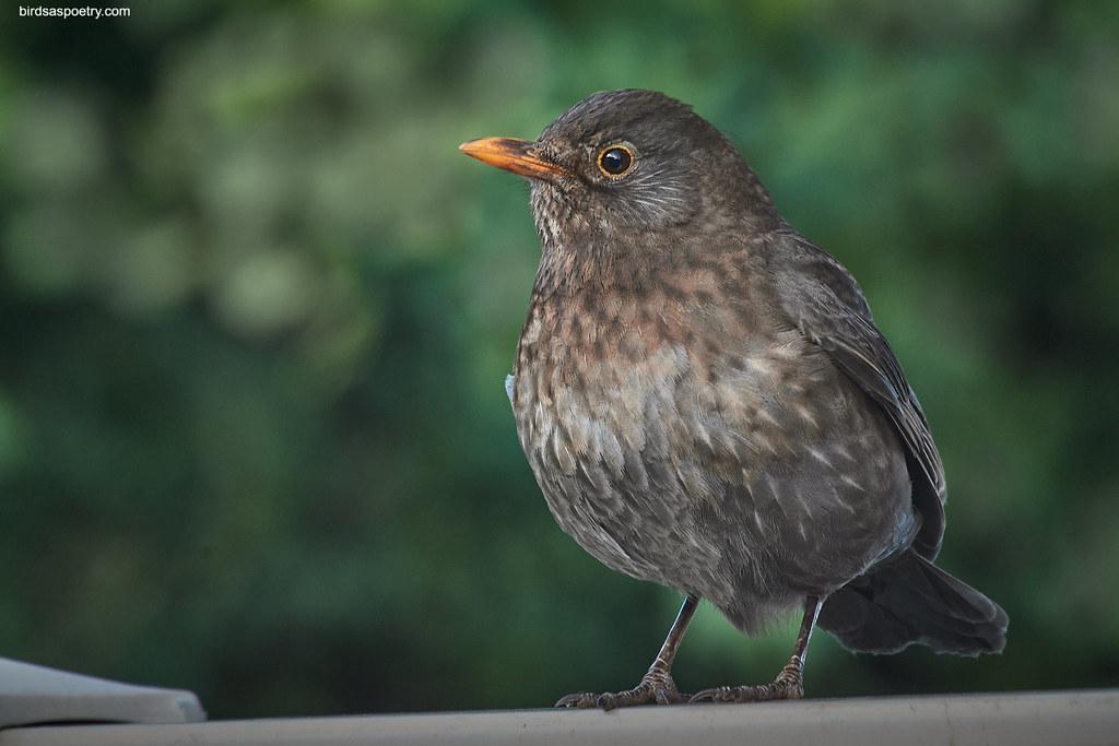 Common Blackbird: The Queen of the Backyard