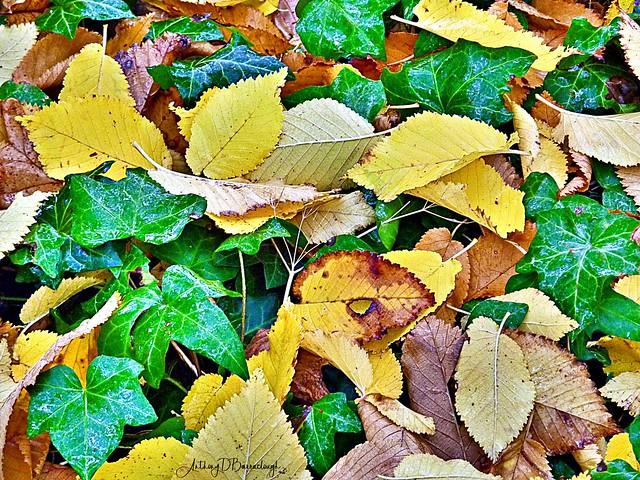 Fallen Leaves & Ivy 146aa-1