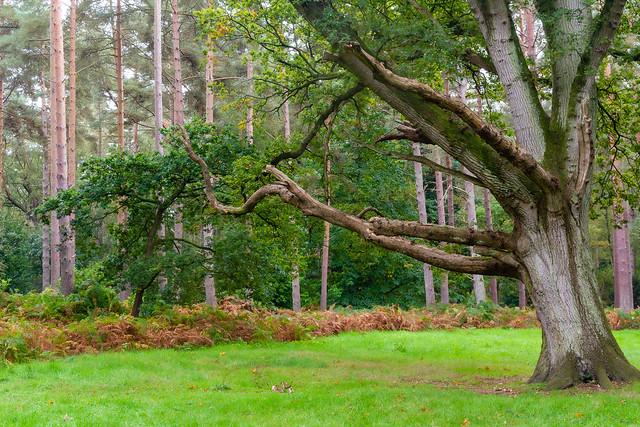 sandringham tree