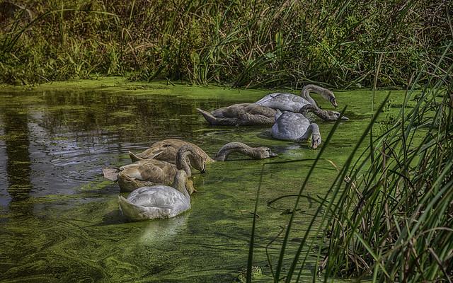 6 swans