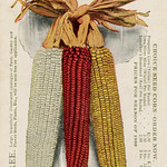 Wed, 2021-10-20 17:43 - A 1909 advertising postcard for the Iowa Seed Company, Des Moines, Iowa.  For a more recent corn postcard, see DeKalb Corn—Extremely Stiff Stalked.  Corn—Iowa's Greatest Product Seed Corn—Iowa Seed Co.'s Great Specialty  Iowa Seed Co. Established 1865. Des Moines, Iowa  Free. Large, beautifully illustrated catalogue of Farm, Garden and Flower Seeds, Plant, Etc., will be sent free on application.  Choice Seed Corn—Order Now.  Prosperity Corn (Yellow) Per Bushel - - $2.50, 5 bu. $11.75 Iowa Silver Mine (White) Per Bushel - - 2.50, 5 bu. 11.75 Lenocher's Homestead (Red) Per Bushel - - 2.00, 5 bu. 8.75  Prices for Season of 1909