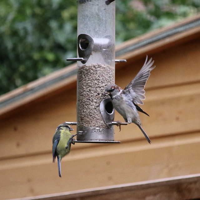 blue tit and house sparrow