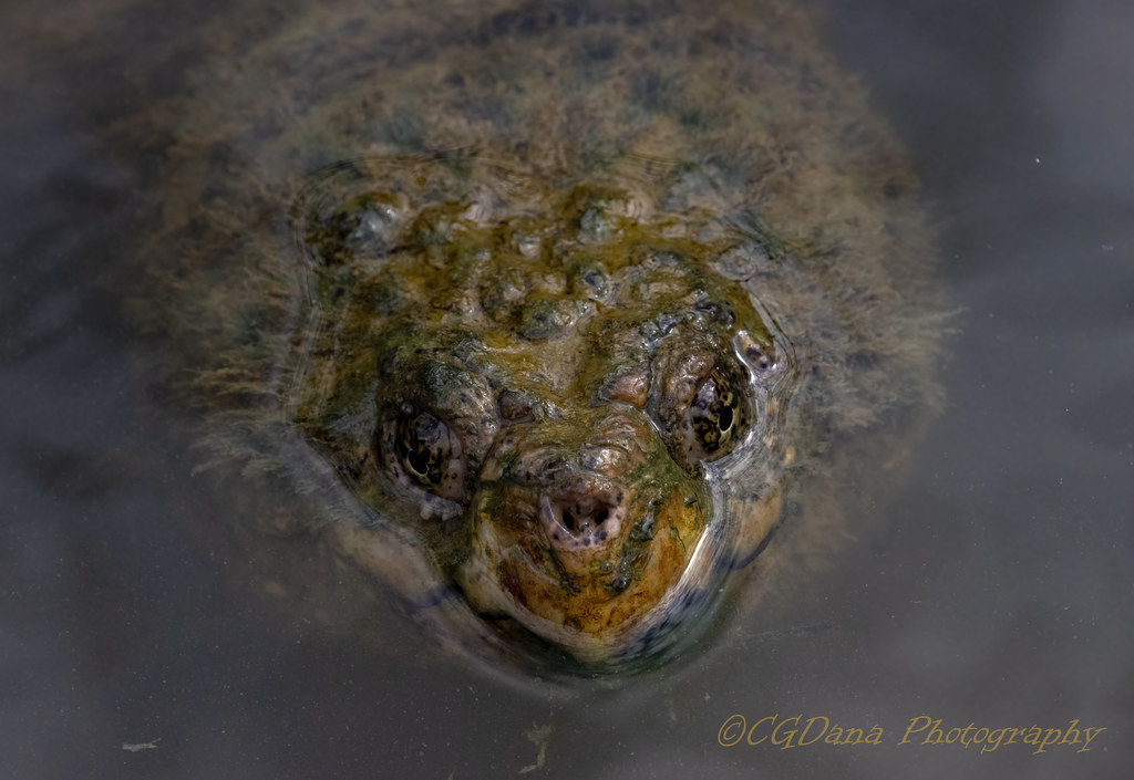 Common Snapping Turtle (Chelydra serpentina )