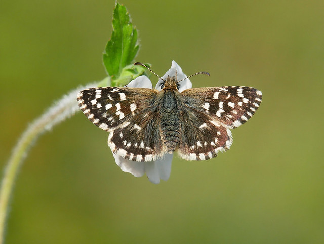 Female Grizzled Skipper Butterfly, close up. No Cropping.