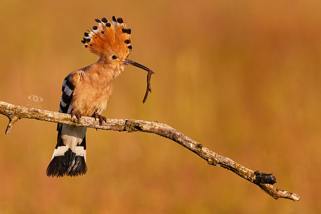 very early in the morning: A big catch: Wiedehopf (Upupa epops) - Eurasian hoopoe ·  ·  ·   (R5B_4829)