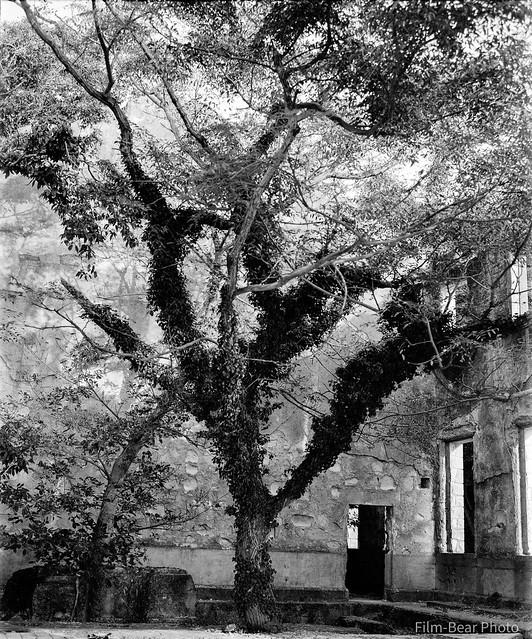 Tree in ruin