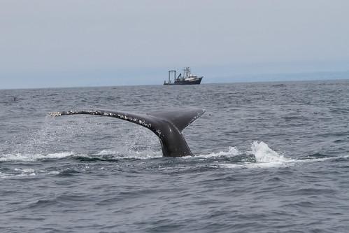 2017 California blue and fin whale tagging season