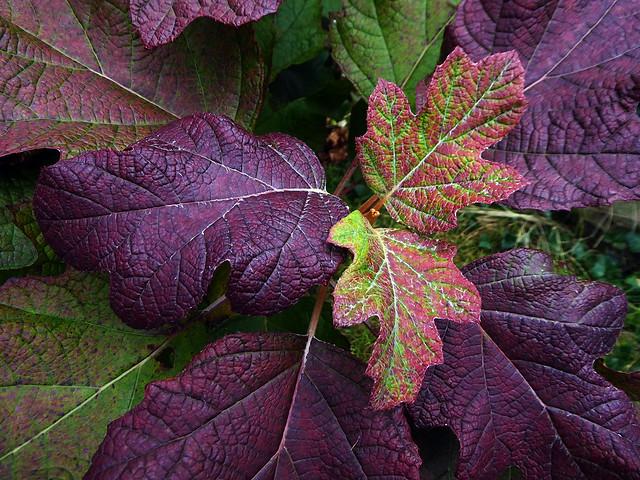 Oak leaved Hydrangea
