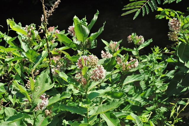 milkweed blooming for butterfly