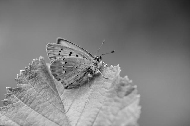 farfalle_MA15272-2