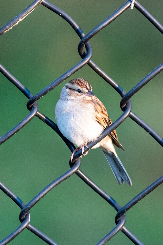 chipping-sparrow-5035