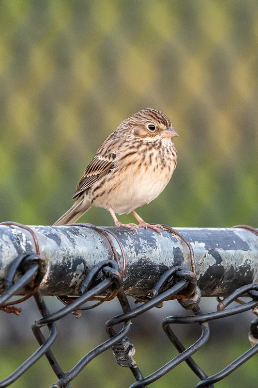 vesper-sparrow-4988